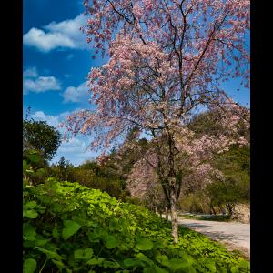 銅賞「県道沿いに咲く桜」谷脇良文