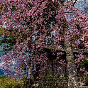 銅賞3 「故郷の春」谷脇晶江