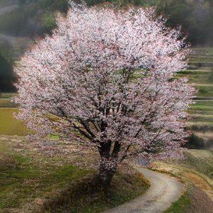 入選8 「大石の一本桜」徳弘知代子